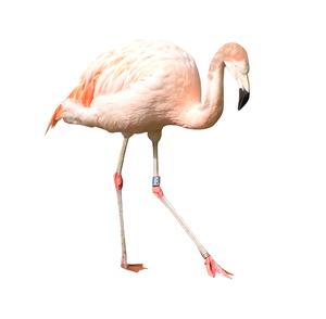 Flamingo: A pink bird isolated.