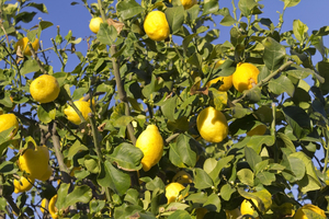 Lemons: Ripe lemons on a tree in Italy.