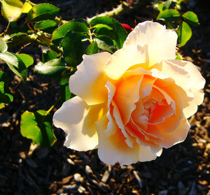 Beautiful Apricot Rose