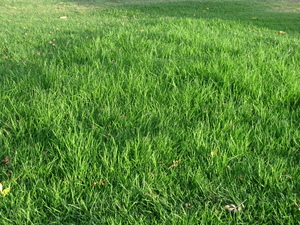 Lawn Grass: Long lawn grass, lush and unmown.