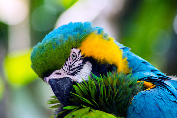 Military Macaw: The Military Macaw is a large parrot and a medium-sized member of the macaw genus. Though considered vulnerable as a wild species, it is still commonly found in the pet trade industry. A predominantly green bird, it is found in the forests of Mexico and S