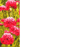 Nature Banner 3: A banner or card with a nature theme - pink poppies.