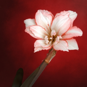 Amaryllis Hippeastrum: This gorgeous flower grew at my balcony and my dear daughter inspired me to make the shot :). The shot was made in daylight and then background was changed with photoediting software. Preparing this series of files, I thought about those, who'd like to de