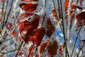 frozen red leaves 1