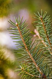 Spruce Tree: Fresh New Spruce