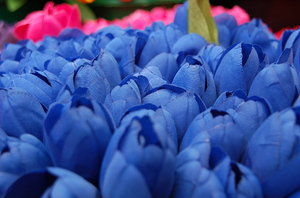 blue tulips: blue, pink, and red n'yellow tulips at the Flower Market in Amsterdam