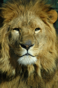 Lion: Portrait of a lion
