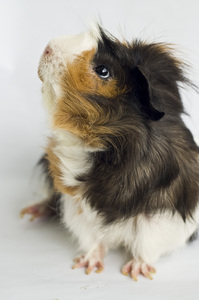 :: Guinea pig 4::: no description