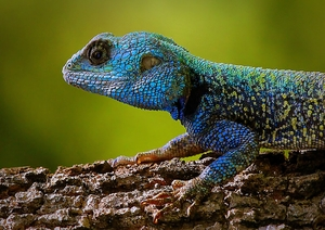 blue-head lizard 1: blue head lizards fighting for domination during breading season