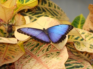 Morpho peleides 2: The Peleides Blue Morpho (Morpho peleides) butterfly at Emmen Zoo
