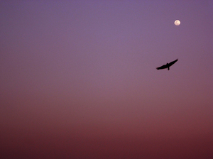 Going home: A lone crow flies home on a winter evening. This is from my place in Bangalore, India.