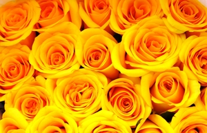 yelllow roses background 2