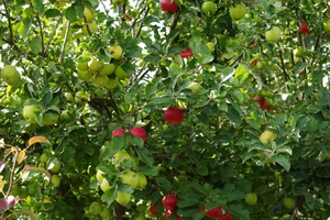 Apples: Apples on the tree