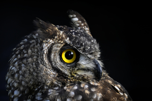 owl4: owl with yellow eye
