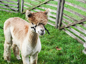 Free stock photos rgbstock free stock images alpaca for Alpaca view farm cuisine
