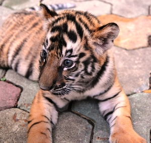 baby tiger