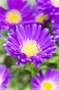 Autumn aster: autumn aster