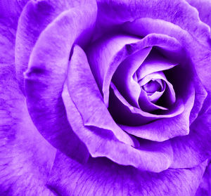 purple petals1: artificially colored purple rose