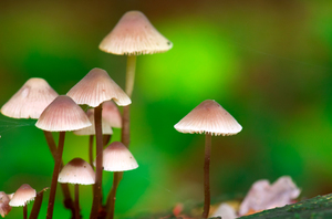 Fairy mushrooms: mushrooms