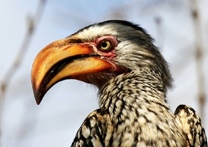 Yellow billed Hornbill 4: Southern Yellow-billed Hornbill