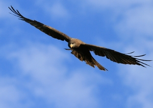 yellow billed kite 2