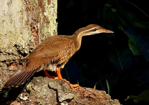 African Finfoot: The African Finfoot is an underwater specialist with a long neck, a striking sharp beak, and bright red, lobed feet. It has a claw on the mobile first digit of each wing, which may be used when climbing. It also has stiffened rectrices and often swims wit