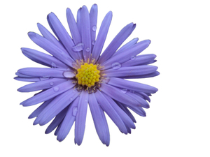 Purple flower 1: Purple flower