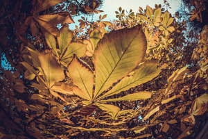 leaf: Chestnut tree