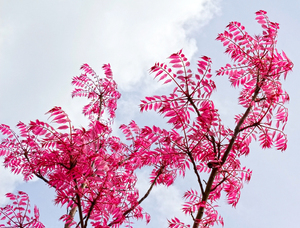 Pink leaves: Pink spring leaves of a Toona tree.