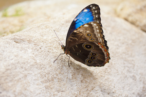 Blue butterfly: A butterfly (Morpho peleides) on a rock