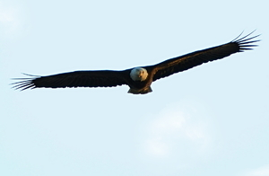 Eagle: Eagle in flight