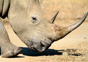 White Rhino (Rhinoceros) 1