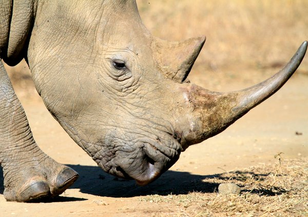 White Rhino (Rhinoceros) 1: White Rhino, (Grass Eating) hunted and killed in the most gruesome way for their horns and will soon be endangered