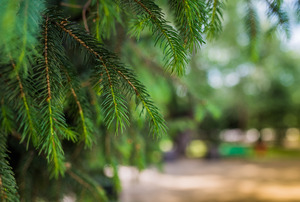 Closeup of fir tree