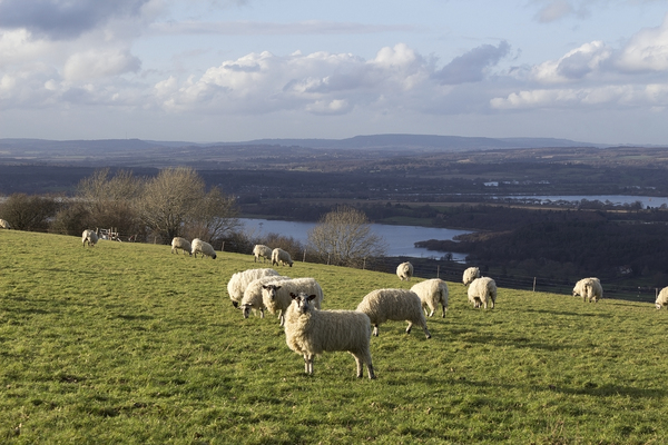 Sheep on a hill: Sheep on a hillside of the South Downs, West Sussex, England. In the background are winter flood meadows.