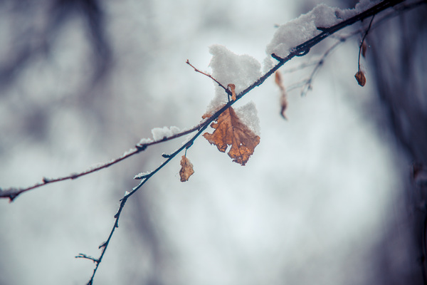 Leaf: Covered in snow