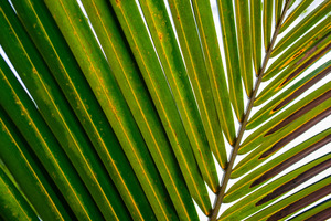 Palm Leaf: Textured