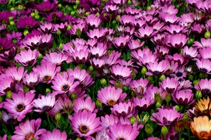flower carpet: Osteospermum plants
