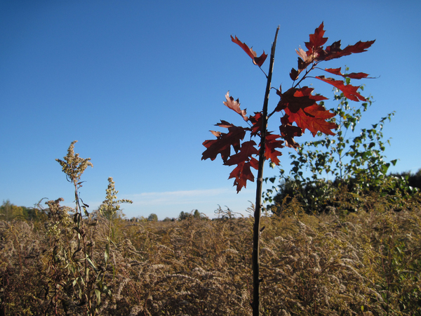 Autumn fields: Autumn fields and a red oak tree.