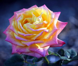 Soft Focus Rose 2