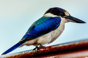 Forest Kingfisher: The Australian Forest Kingfisher has a dark royal blue head with pale turquoise on the back. Photo taken early morning near Murwillumbah Northern NSW Australia.