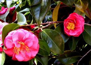 pink camellia2