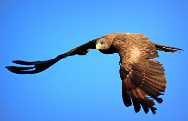 Yellow Billed Kite: Falcon like bird migrate to Europe during South African Winter. they are fantastic divers
