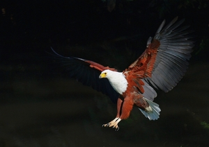 African Fish Eagle: African Fish Eagle landing and in flight images