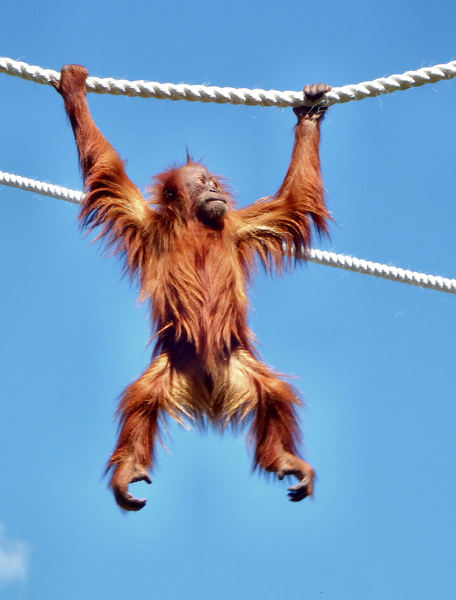 hang loose1: orangutan carefree activities & antics