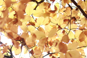 Yellow Autumn Leaves: Tree from beneath, slightly overexposed - on purpurs! || If you like this picture, feel free to leave a comment. It will make me very happy :)