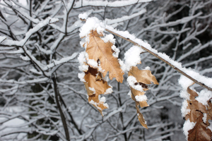snowy_branches_03: Snowy branch of oak leaves.