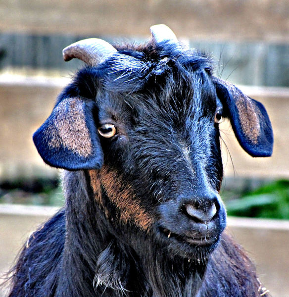 billy goat gruffA: short horned black domesticated male goat