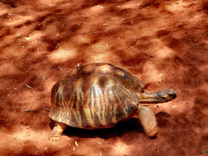tortoise camouflage1: radiated-tortoise slowly moving forward under mixed sunlight and shade
