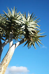 Quiver Tree: African succulent, the quiver tree.NB: Credit to read